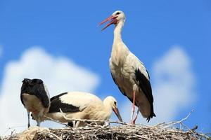 orientalisk vit stork (ciconia) foto
