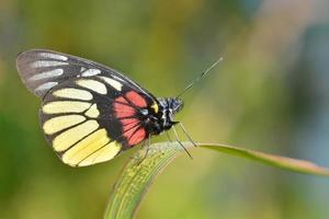 gul fjäril foto