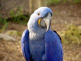 blå papegoja @ Sedgwick County zoo foto