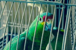grön papegoja foto
