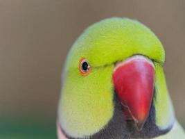 vacker röd beek papegoja foto