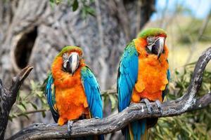 två papegojor foto