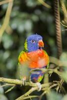 papegoja regnbåge, trichoglossus haematodus foto