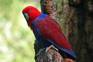 kvinnlig eklektus papegoja