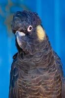 gul-tailed svart kakadua foto