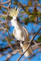 svavel crested kakadua foto