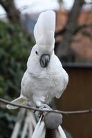 promenad med svavel-krönad kakaduapapegoja foto