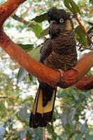 svart kakadua som ligger på en gren foto