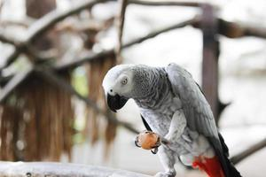 afrikansk grå papegoja foto