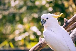 närbild av gul krönad kakadua med suddig bladbakgrund foto