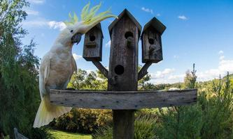 svavel-krönad kakadoo-tittning foto