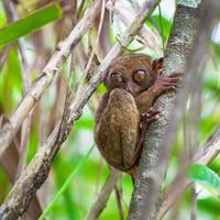 liten söt tarsier på trädet i naturlig miljö foto
