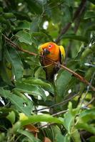sun conure papegoja på trädet