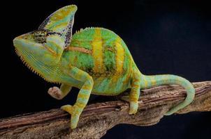 slöja kameleont / chamaeleo calyptratus foto