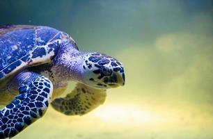 sköldpadda simning foto