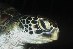 grön sköldpadda, närbild av huvudet foto