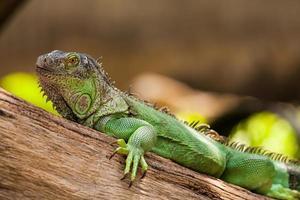 grön leguan foto