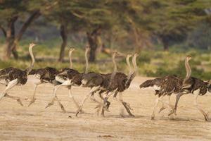 strutsflock springa tillsammans och flyr från ett rovdjur i Tanzania, Afrika