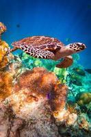 undervattensfoto av hawksbill sköldpadda foto