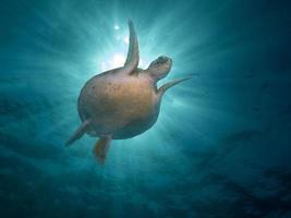 havssköldpadda i havet