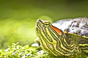 sköldpadda huvud porträtt i natue foto