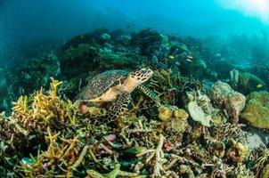 havssköldpadda kapoposang indonesia mydas chelonia undervattens dykare foto