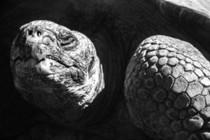 galapagos jätte sköldpadda foto