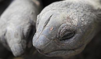 sköldpaddor närbild