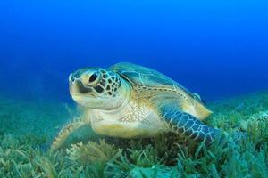 grön sköldpadda foto