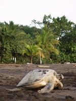 havssköldpadda på stranden tortuguero nationalpark, Costa Rica foto