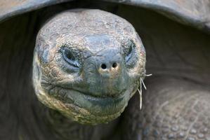 jätte galapagos land sköldpadda
