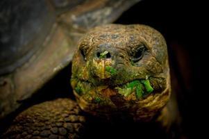 galapagos sköldpadda i floreana ö foto