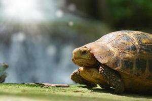 vilda sköldpaddor i litet vattenfall foto