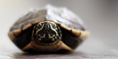 vild sköldpadda