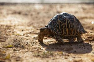 landboende sköldpadda i Sri Lanka foto