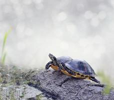 florida cooter sköldpaddor