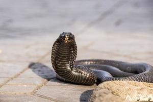 egyptisk kobra charmad på jemaa el-fnaa torget, marrakesh (marocko)