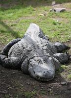 stor krokodil på land foto
