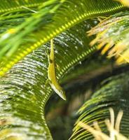 vanlig salamander i palmträdet foto