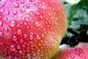 regndroppar på äppelträdets frukt. foto
