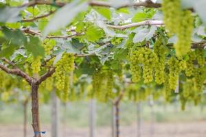 färska gröna druvor på vingårdar tak, Thailand.
