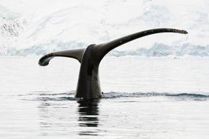 knölval i antarktiska vatten foto