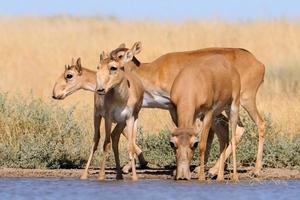 vilda saiga antiloper i stäpp nära vattendamm foto