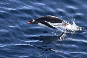 gentoo pingvin flyter som hoppade upp ur vattnet foto