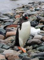 gentoo pingvin, cuverville ö, antarktis foto