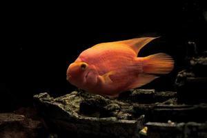 papegoja fisk foto