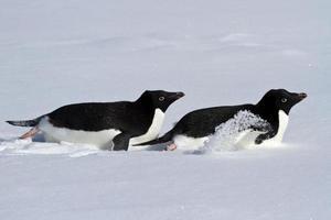 två adelie pingvin som kryper på magen foto