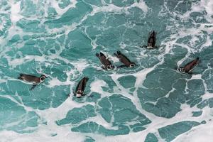 humboldtpingviner som simmar i den peruanska kusten i ica peru foto