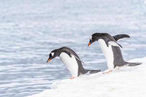 pingviner av antarktis foto