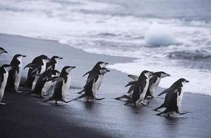 pingviner foto